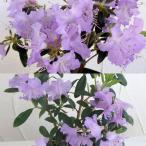 花木 庭木の苗/ブルーツツジ2種セット(さざなみ、黒潮)