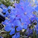 美しい青花が長く咲く!鉢植え・花壇・切り花におすすめの品種