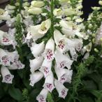 草花の苗/ジギタリス(フォックスグローブ):ダルメシアンホワイト3.5号ポット