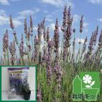 ハーブの苗/ラベンダー(ラバンティン系):グロッソ3号ポット1株と土と肥料のセット
