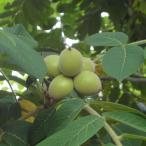 くるみは優良タンパク質や脂肪に富む栄養食品です。カシクルミは実を採取するクルミとして最も多く栽培され...