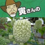 野菜の苗/寅さんのアップルゴーヤ(青秀)3号ポット