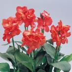 草花の苗/カンナ:トロピカル コーラル3号ポット 2株セット