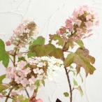 花木 庭木の苗/カシワバ(柏葉)アジサイ:バックポーチ4号ポット