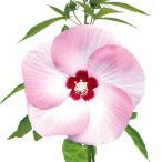 花木 庭木の苗/宿根ハイビスカス:タイタンビカス:アルテミス3.5号ポット
