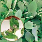 野菜の苗 / オイスターリーフ3号ポット