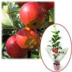 花木 庭木の苗/苗木ギフト:リンゴ:アルプス乙女「お誕生日おめでとうございます」カード付