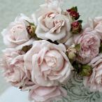 ショッピンググレー バラの苗/四季咲中輪バラ:コンスタンツェ モーツアルト大苗