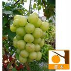 果樹の苗/ブドウ:セトジャイアンツ(瀬戸ジャイアンツ)挿木苗4〜5号ポット