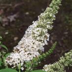 花木 庭木の苗/ブッドレア:ホワイト3.5号ポット