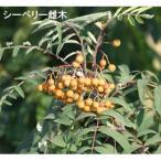 果樹の苗/シーベリー(沙棘・サジー):受粉用オス木3〜3.5号ポット