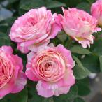 バラの苗/デルバールローズ:マルク・シャガール大苗6号角鉢植え