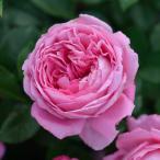 バラの苗/デルバールローズ:フラゴナール大苗6号角鉢植え