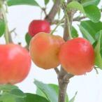 果樹の苗 アセロラ3.5号ポット