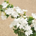 草花の苗/ジャスミン:ハナビジン(花美人)3号ポット