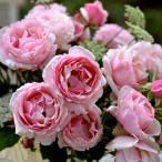 バラの苗/デルバールローズ:ビエ・ドゥー大苗長尺7号角鉢植え