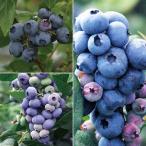 果樹の苗/ブルーベリー:デューク・スパルタン・ダローの3種セット