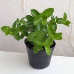 観葉植物/棚卸セール ホヤ:クミンギアナ3.5号ポット苗