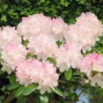 花木 庭木の苗/西洋シャクナゲ:ウェディングブーケ 3.5号ポット