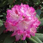 花木 庭木の苗/西洋シャクナゲ:ジョイフルデイ 3.5号ポット