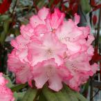 花木 庭木の苗/西洋シャクナゲ:ミセスフジイ3.5号ポット