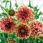 草花の苗/ガイラルディア:ガリア コーラルスパーク3.5号ポット