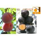 果樹の苗/スモモ(プラム)2種セット:貴陽とバイオチェリー