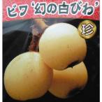 果樹の苗/ビワ:幻の白びわ4.5号ポット