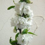 花木 庭木の苗/ニワザクラ(庭桜):白花4.5号ポット