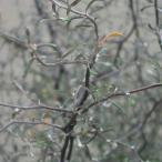 観葉植物 / コロキア:コトネアステル3号ポット