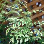 花木 庭木の苗/シマトネリコ:天の川(あまのがわ)5号ポット
