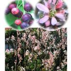 花木 庭木の苗/ジューンベリー:ロビンヒル4〜5号ポット