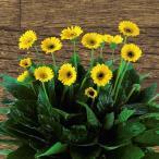 草花の苗/ガーデンガーベラ(ガルビネア):イサベル3.5号2株セット