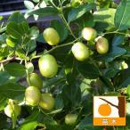 果樹の苗/ナツメ4~5号ポット