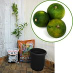 果樹の苗/ホームフルーツの鉢栽培セット:スダチ*