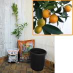 果樹の苗/ホームフルーツの鉢栽培セット:ニンポウキンカン*