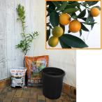果樹の苗/ホームフルーツの鉢栽培セット:プチマルキンカン*