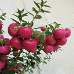 花木 庭木の苗/ペルネッティア(真珠の木):大実ハッピーベリーレッド3号ポット