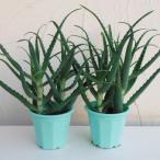 ハーブの苗/キダチアロエ5号鉢植え 2株セット