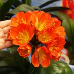 クンシラン:姫ダルマ6号鉢植え