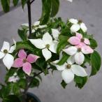 花木 庭木の苗/ヤマボウシ:源平ヤマボウシ 6号ポット
