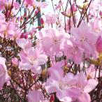 花木 庭木の苗/ツツジ:アカヤシオ根巻き樹高30〜40cm