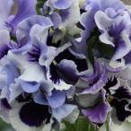 草花の苗/パンジー:ムーランフリルトリコロールルージュホワイトミックス3.5号ポット 2株セット