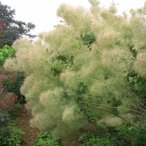 花木 庭木の苗 / スモークツリー:グリーンボール4号ポット