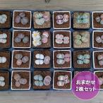観葉植物/リトープス(メセン)3号ポット2鉢セット(品種アソート)
