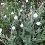 草花の苗/リクニス:コロナリア(スイセンノウ)白花3号ポット 2株セット