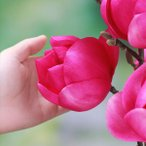 花木 庭木の苗/モクレン(マグノリア):クレオパトラ4号ポット
