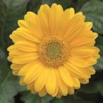 草花の苗/棚卸セール ガーデンガーベラ(ガルビネア):スイート スマイル3.5号ポット