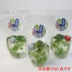 草花の苗/水生植物:ガラス玉入りメダカ産卵水草1パック