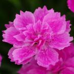 草花の苗/17年3月中旬予約 芳香四季咲き八重咲きなでしこ:アナ3号ポット